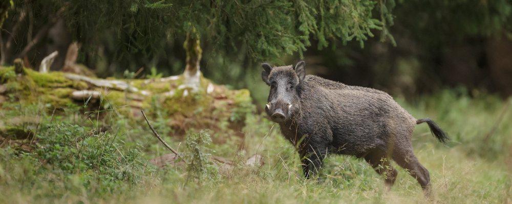 comederos automaticos para jabali, consejos de gestión cotos de caza